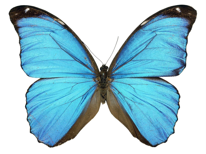 Amazon Com Blue Morpho Butterfly Decal 6 Wingspan Handmade
