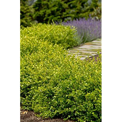 "Winter Gem Boxwood - Established Rooted Evergreen - 6 Plants in 2.5"" Pots : Garden & Outdoor"