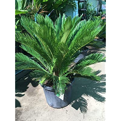 "Sago Palm Plant, 10"" Pot : Garden & Outdoor"