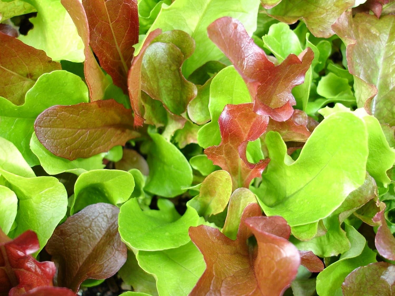 Pflücksalat-Lettuce-SALAD-Flame 500 seeds