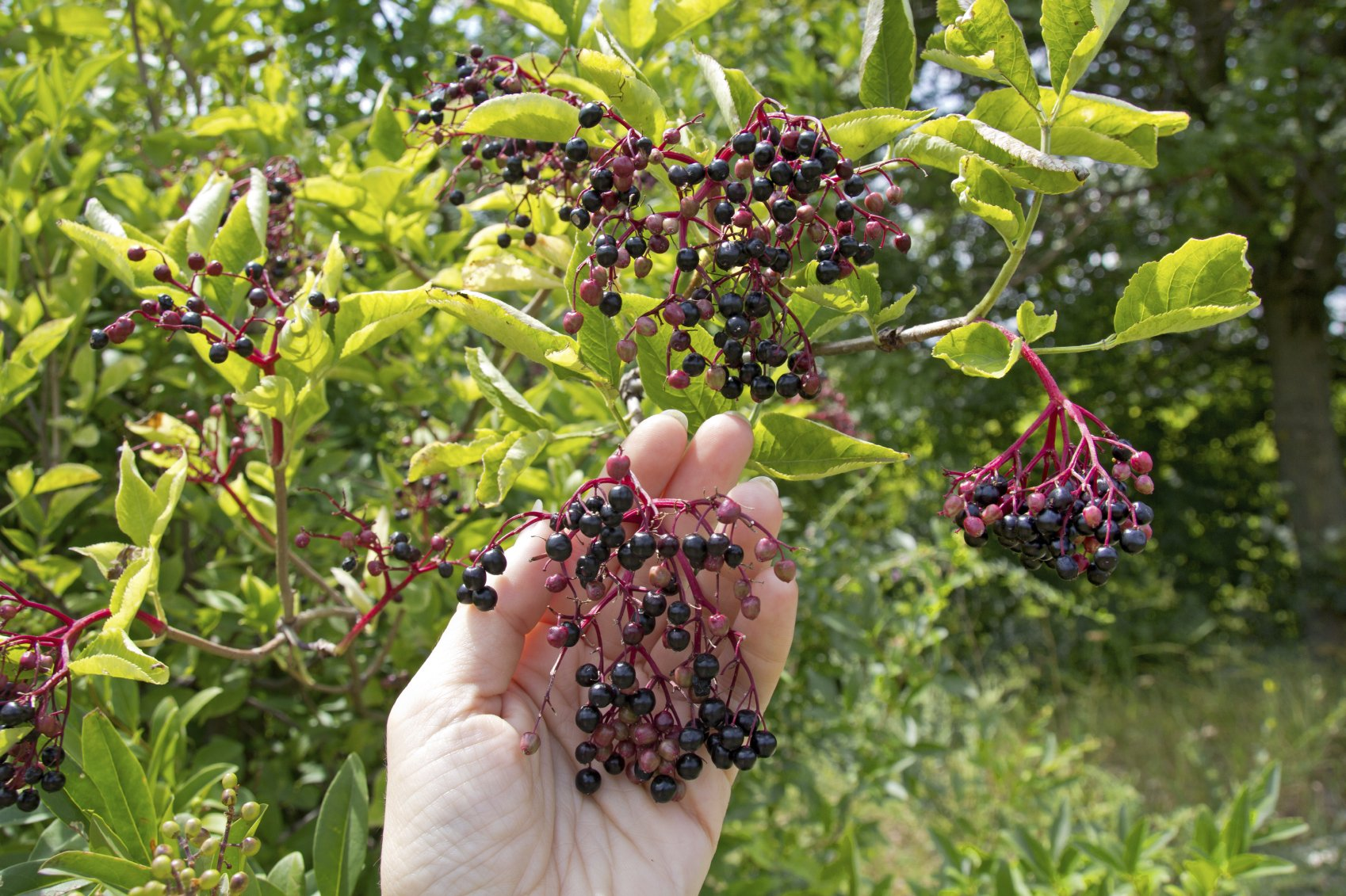Elder Berry Whole Organic, dried (1 pound) by MagJo Naturals (Image #2)