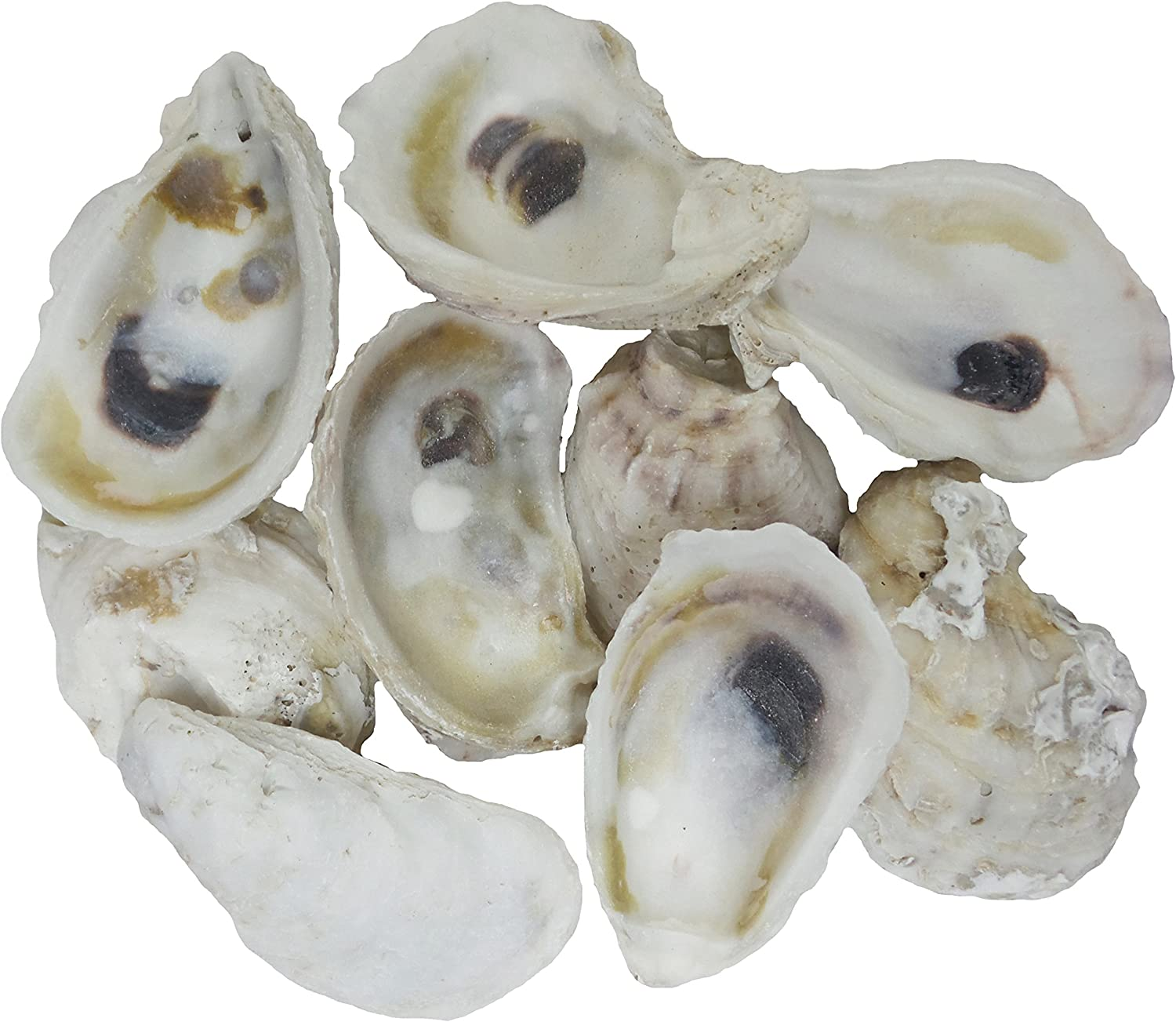 """U.S. Shell, 05114 Oyster Shells, 2 to 3 inches, 2"""" to 3"""""""