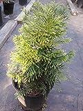 Dwarf Emerald Green Arborvitae, Compact Evergreen, Great for Colder Zones, Hydrangeas Shrub, Evergreens, Gardenia