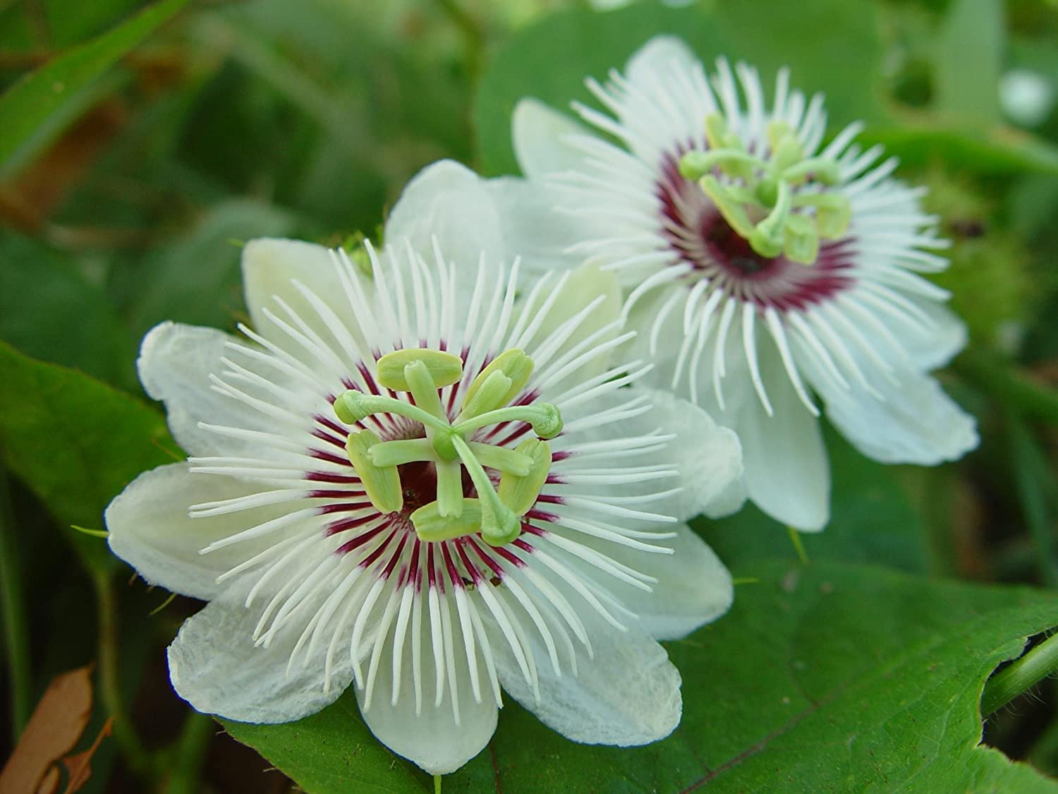 Asklepios-seeds® - 15 seeds of Passiflora foetida, wild maracuja, bush passion fruit, marya-marya, wild water lemon, stinking passionflower, love-in-a-mist, running pop