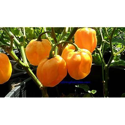 Congo Yellow Trinidad Hot Pepper 10+ Seeds : Chile Pepper Plants : Garden & Outdoor