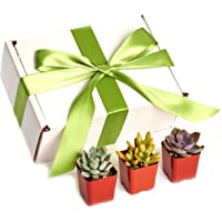 Shop Succulents Premium Pastel Collection Live Mini Succulent