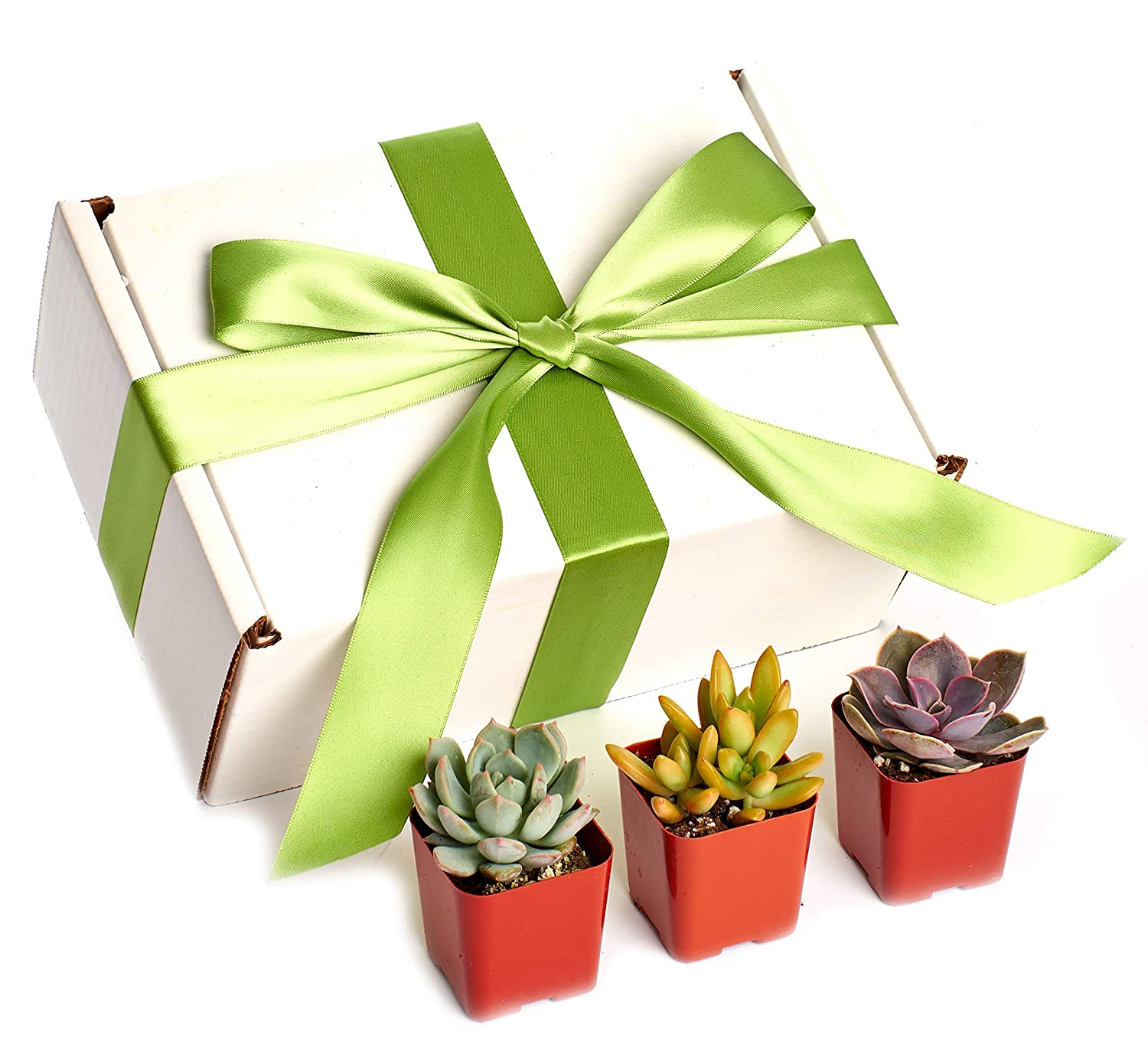 Christmas Succulent Gift.Shop Succulents Rosette 2 Plants In In Christmas Gift Box Pack Of 12 Real Live Potted Succulents