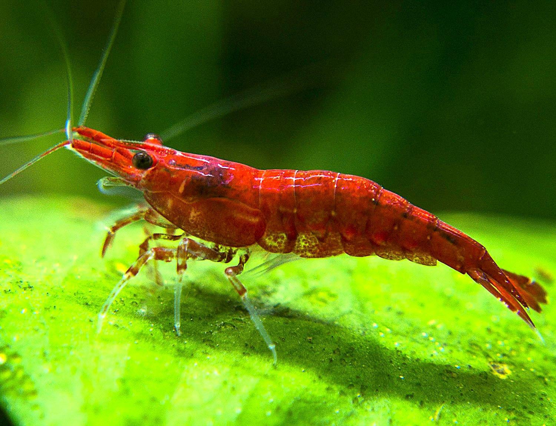 amazon com sakura red cherry shrimp breeder combo pack