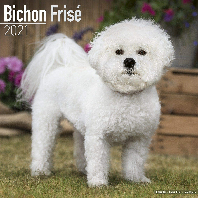 Amazon.com: Bichon Frise Calendar 2021   Premium Dog Breed