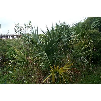 Sabal minor McCurtain COLD HARDY DWARF PALMETTO Seeds! : Garden & Outdoor