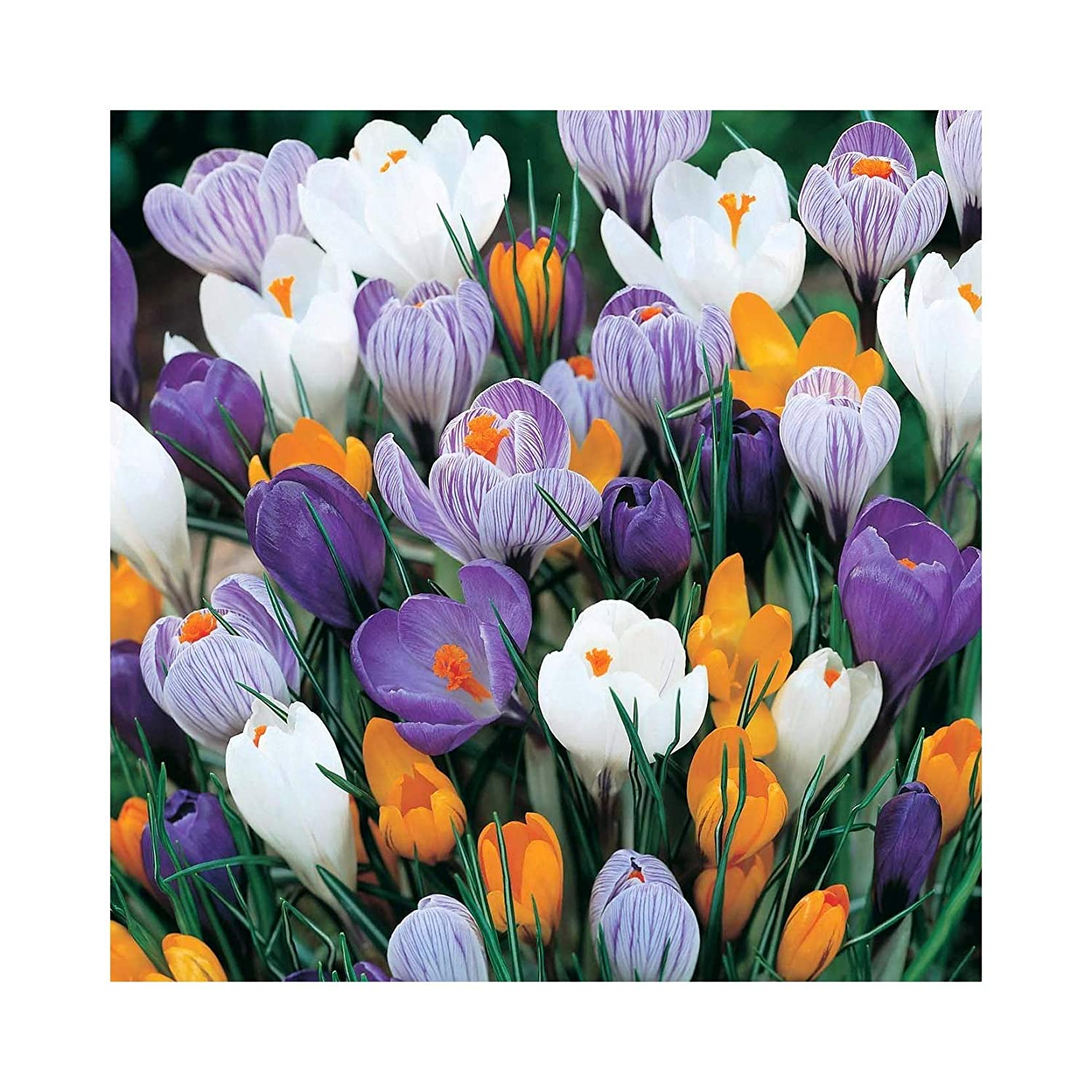 100 Crocus Vernus Mixed Dutch Large Flowering Bulbs Flowering Size by Plug Plants Express Limited