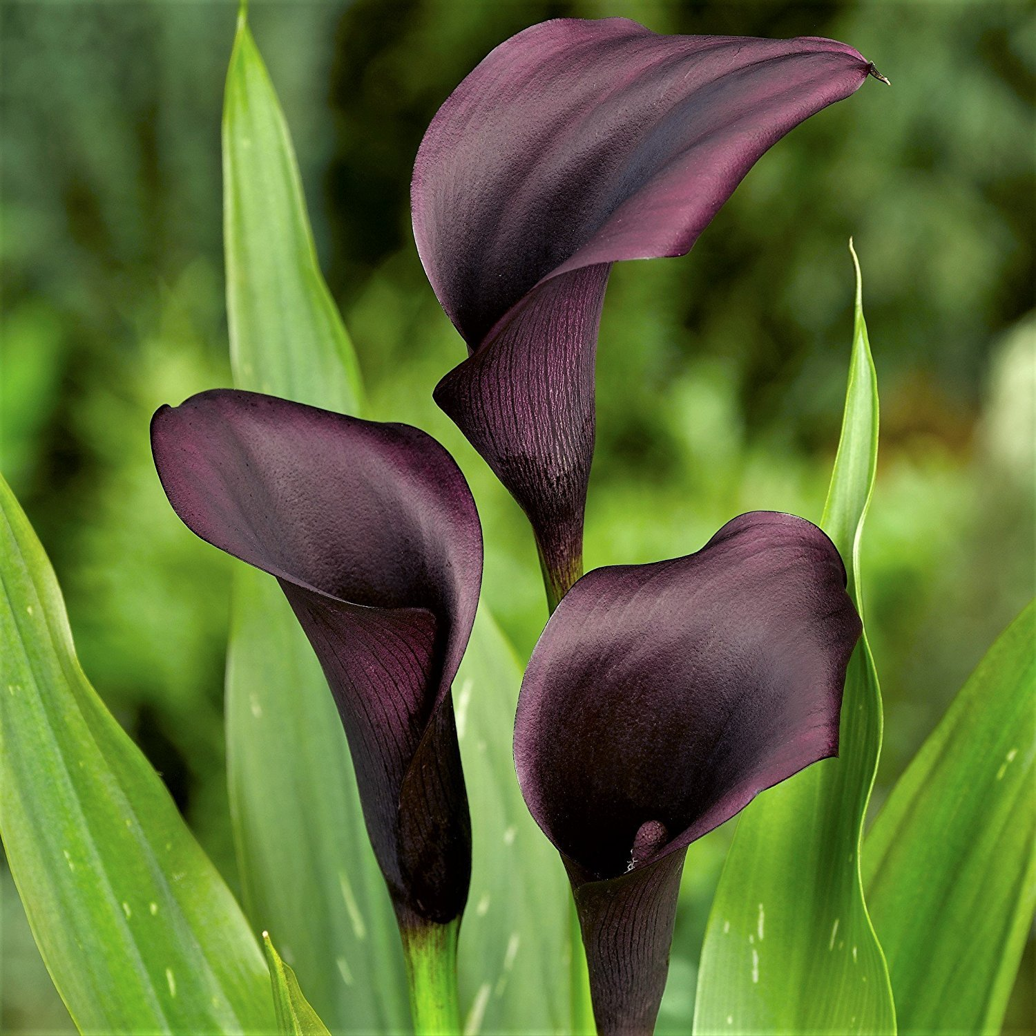 Black Calla Lily Odessa (3 BULBS - Not Just Seeds!) Zantedeschia Tubers - GORGEOUS! by EGBULBS (Image #1)
