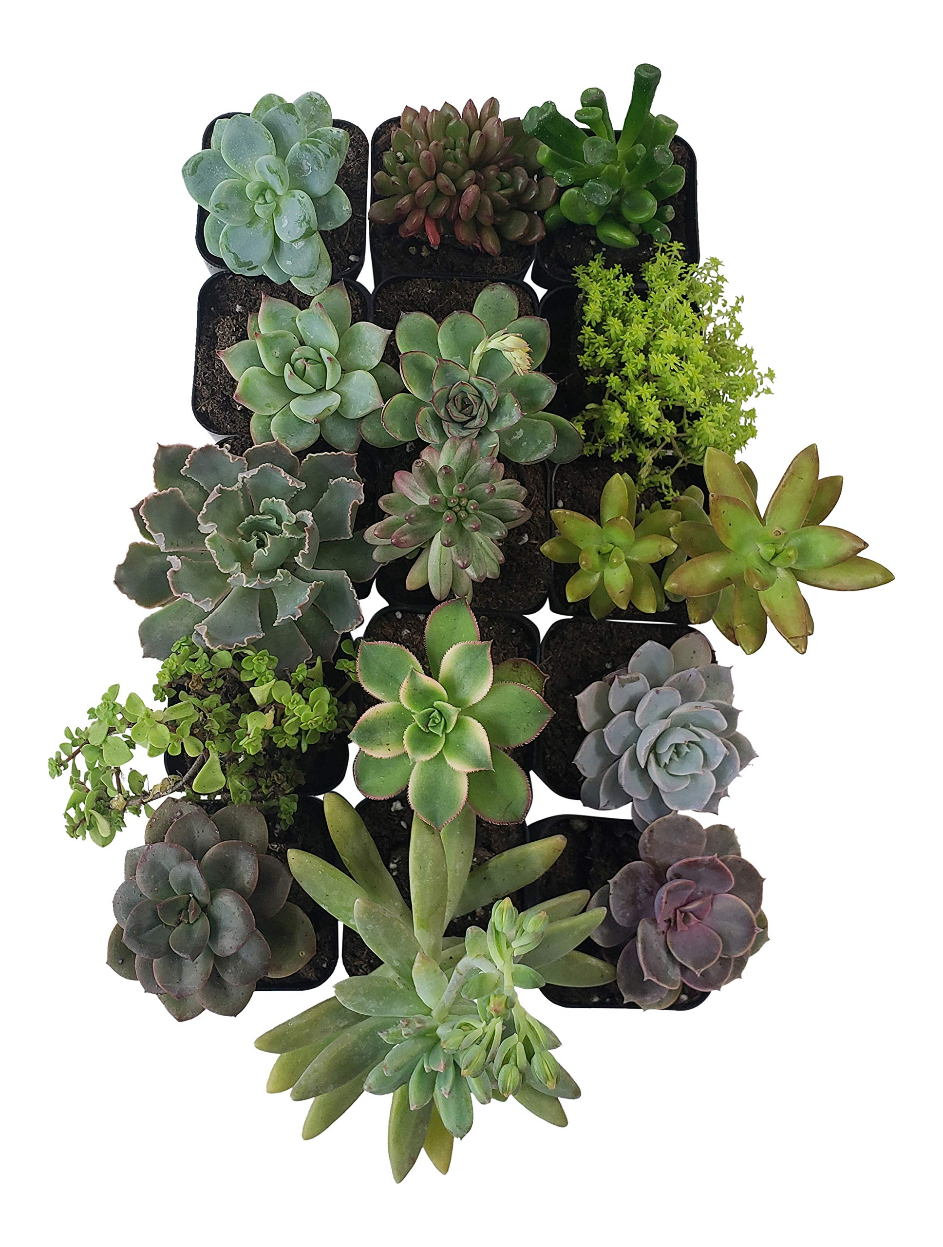 Succulent Plants [15 Pack Succulents] - Rooted 2 Inch Succulents in Planter Pots with Soil, Unique Live Indoor Plants for Decoration, Easy Care Plant Decor by Succulent Depot