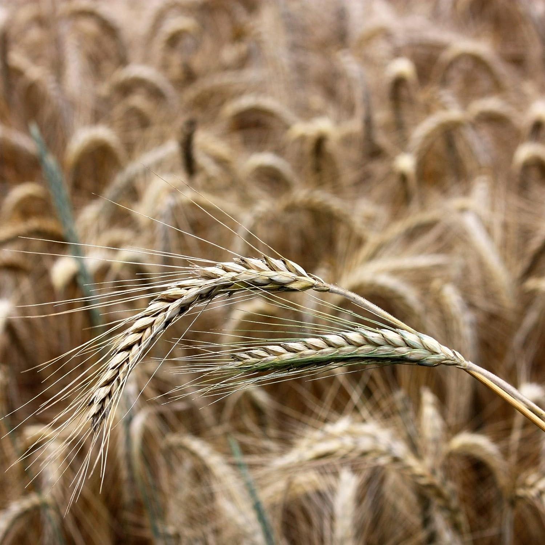 Winterroggen (Secale cereale) Samen (~ 250): Biologisch, Non-GMO-Samen-Paket SVI