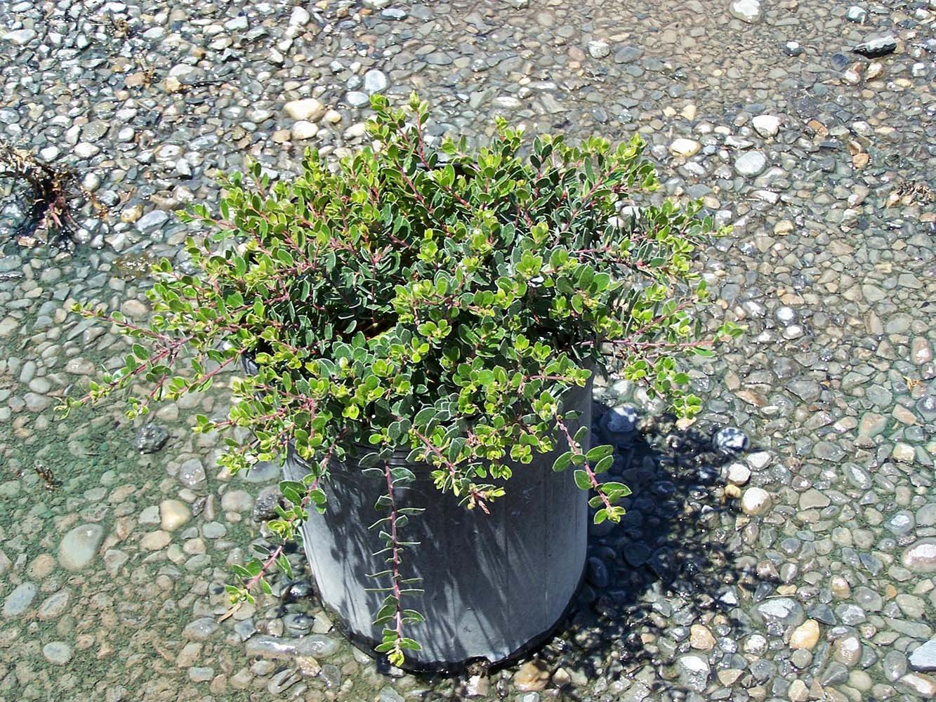 Picture of Live Trailing Manzanita aka Arctostaphylos 'Emerald Carpet' Plant Fit 1 Gallon Pot