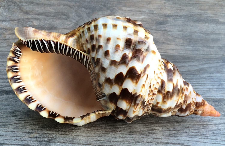 Amazon.com: Triton Shell | 1 Triton Sea Shell Large 10