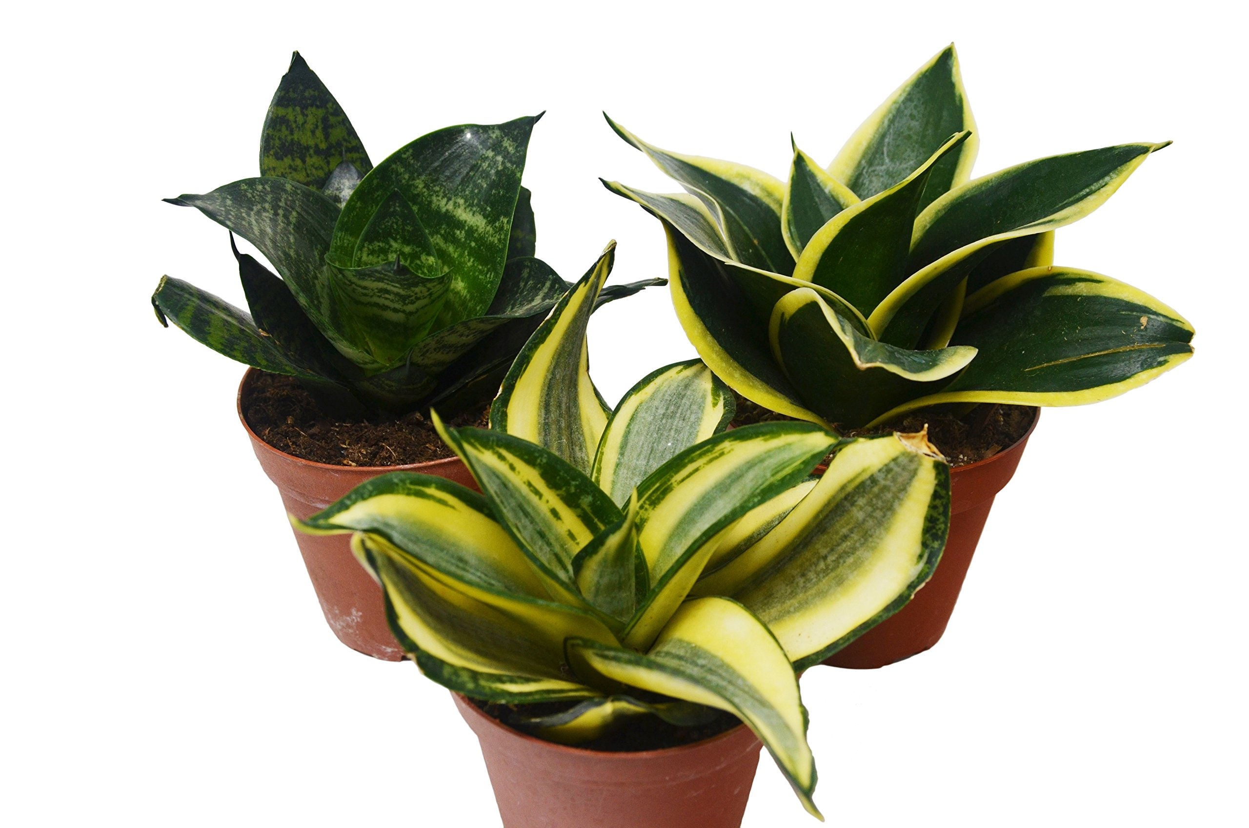 3 Different Snake Plants in 4'' Pots - Sansevieria - Live Plant - FREE Care Guide