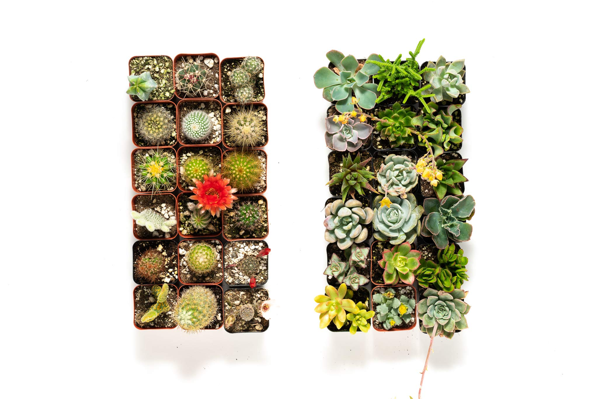 36 Succulent & Cactus Variety Pack- No Two Plants are Alike, Make Your Garden Unique with A Beautiful Collection of Succulents and Cacti - by Jiimz by Jiimz (Image #1)