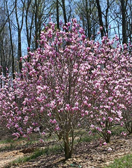 Amazoncom Jane Magnolia Tree Hardy Healthy Established Rooted