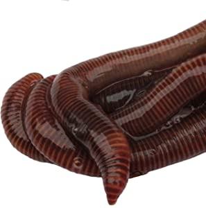 HomeGrownWorms.com - 100 Live Red Wigglers - Composting Red Worms - Live Delivery Guaranteed - Same Day Shipping!!! Vermicomposting Garden Red Wrigglers - Eisenia Fetida - Worm Farm