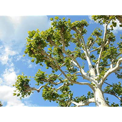 American Sycamore. Tree 100 + Seeds From Indiana. 2020 : Garden & Outdoor