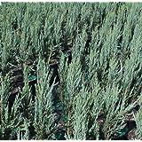 Sandys Nursery Online Juniperus scopulorum 'Blue Arrow' 4 inch Pot