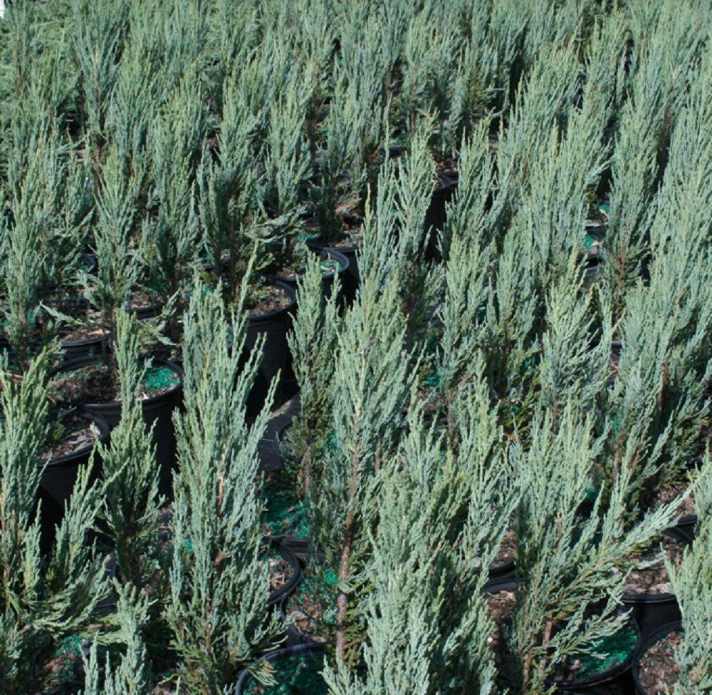 Sandys Nursery Online Juniperus scopulorum 'Blue Arrow' 4 inch Pot Lot of 20