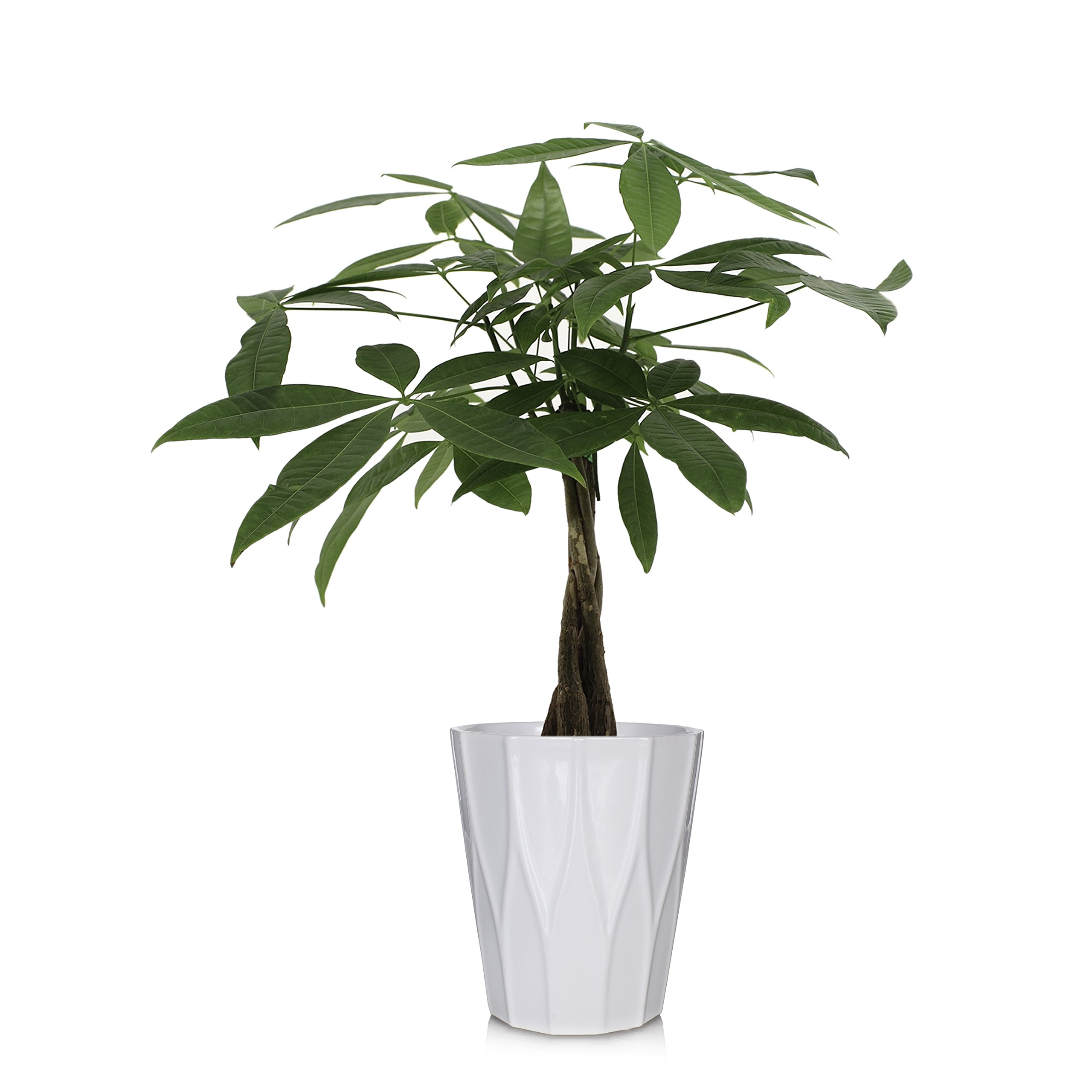 Just Add Ice 262768 Money Tree, 5'', Green