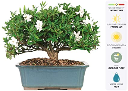 Beau Brusselu0027s Live Gardenia Outdoor Bonsai Tree   6 Years Old; 10u0026quot; To  14u0026quot;