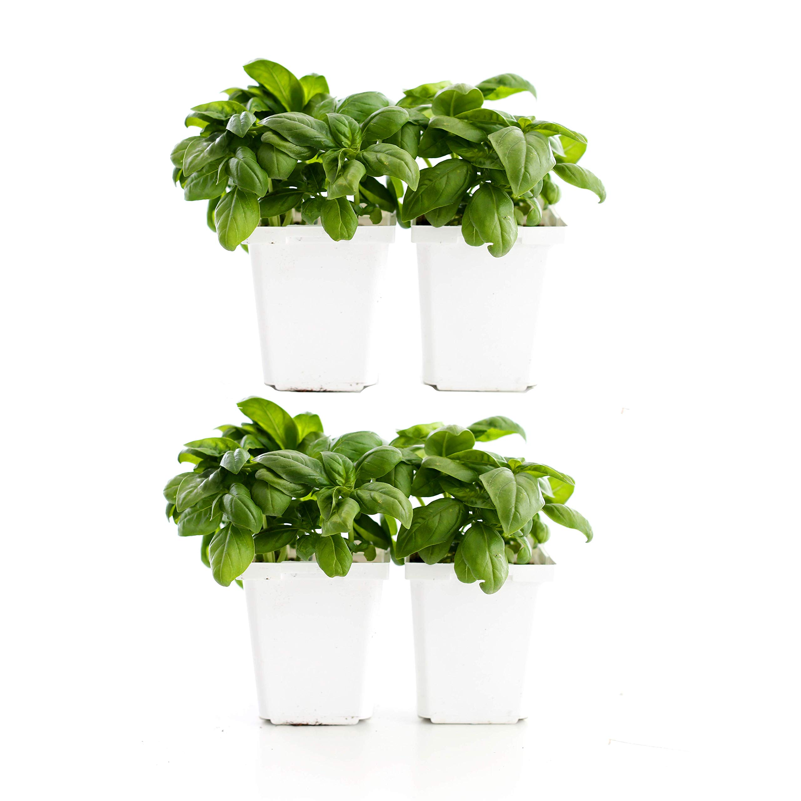 Plants by Post 4-inch Super Sweet Genovese Basil, Set of 4, Green