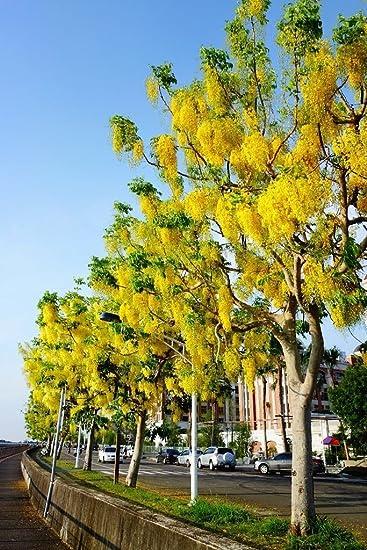 Amazon Indian Larbunum Cassia Fistula Golden Shower Tree