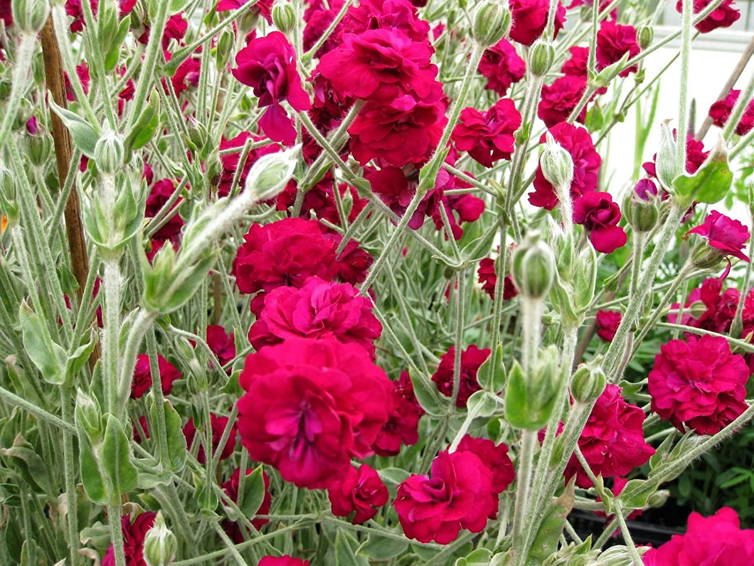 Astonishing Lychnis Coronaria Gardeners World Perennial Plant In A 17Cm Pot Cottage Garden Fave Download Free Architecture Designs Ponolprimenicaraguapropertycom