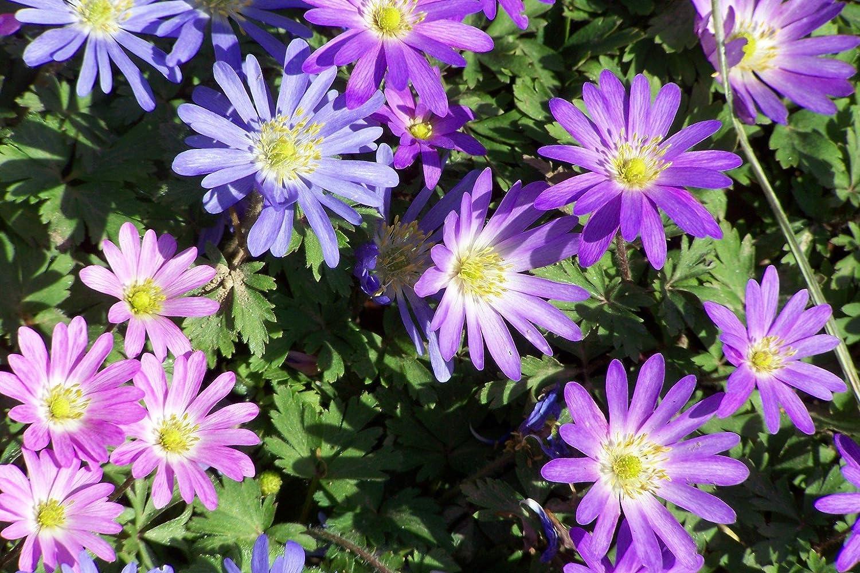UK-Gardens Pack of 50 Mixed Anemone Blanda Bulbs - Spring Flowering Garden Bulbs
