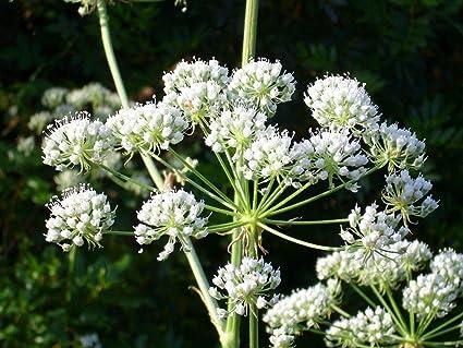 Conium maculatum POISON HEMLOCK Seeds!
