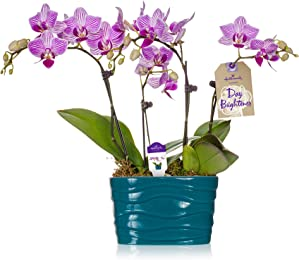 Hallmark Flowers Petite Pink and White Striped Duo Orchid in 4-Inch Turquoise Ceramic Container