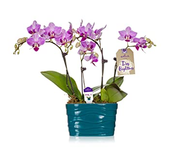 Amazon hallmark flowers petite pink and white striped duo hallmark flowers petite pink and white striped duo orchid in 4 inch turquoise ceramic container mightylinksfo