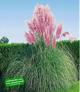 Winterharte Gräser Garten dominik blumen und pflanzen winterharte staude pasgras
