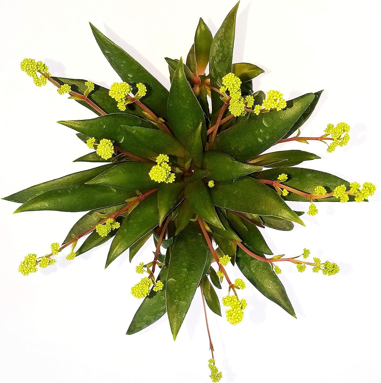 CRASSULA ORBICULARIS ROSULARIS IN VASO CERAMICA BIANCA CON SPATOLATURA IN RILIEVO pianta vera