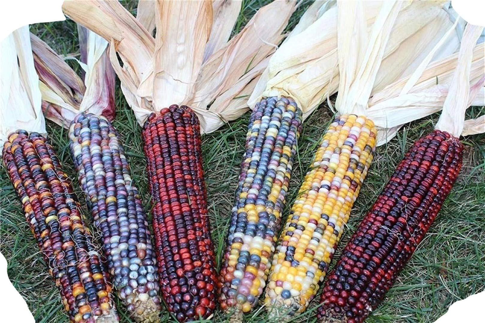 Decorative Indian Corn - 5 to 6 Ears with Husk - Each Ear 6 to 10 inches Long - Ornamental by Noteboom Farms LLC (Image #4)