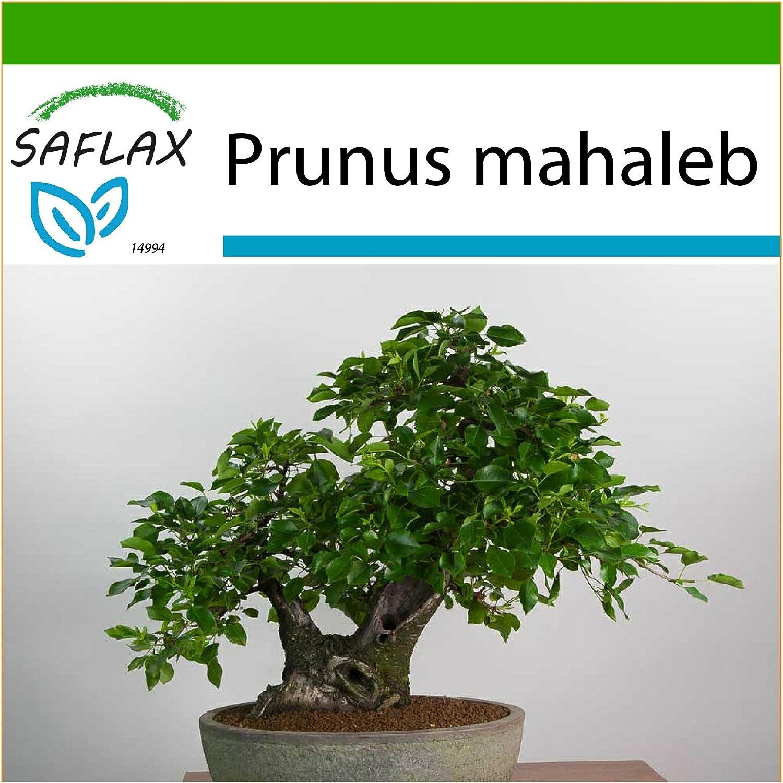 SAFLAX 30 Samen Bonsai Felsenkirsche Mit Substrat Prunus mahaleb