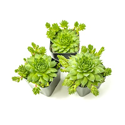 Hens and Chicks Succulent Plants (3 Pack) Live Sempervivum Houseleek Succulents | Rooted in Succulent Planter Pots with Succulent Soil | Flowering Hen Chicks Rosette Succulent Pots by Aquatic Arts : Garden & Outdoor
