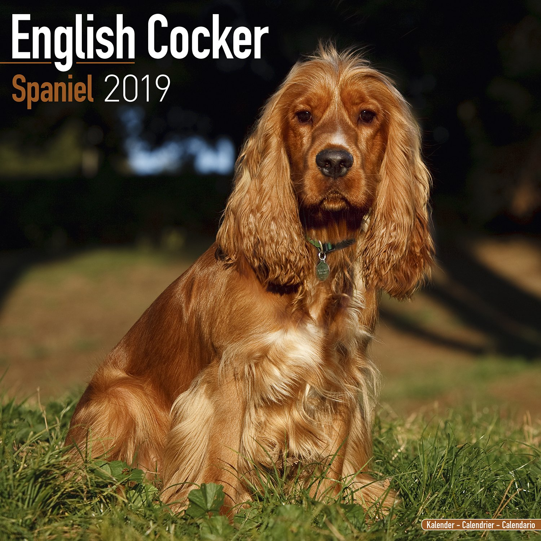 English Cocker Spaniel Calendar 2019 Square Amazonde Avonside
