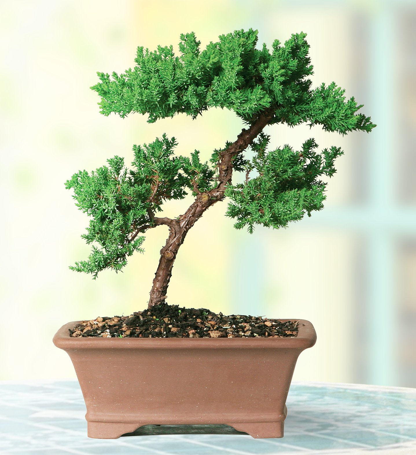 Brussel's Live Green Mound Juniper Outdoor Bonsai Tree - 5 Years Old; 6'' to 10'' Tall with Decorative by Brussel's Bonsai (Image #2)