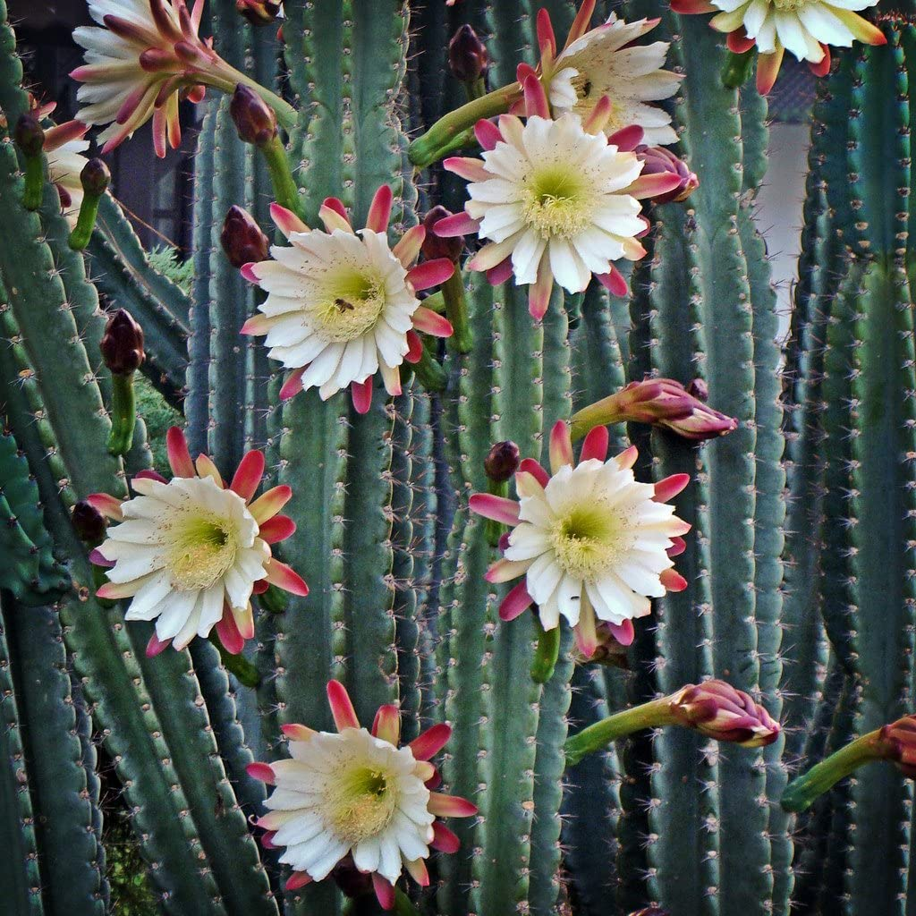 Peruvian Apple Cactus, Two Large Cuttings, One Tip and One Trunk, Nine inches Long Each, Cereus Peruvianus, Repandus, pitaya, FREE EXPIDITED SHIPPING