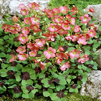 Luck Clover Oxalis Iron Cross - 20 flower bulbs