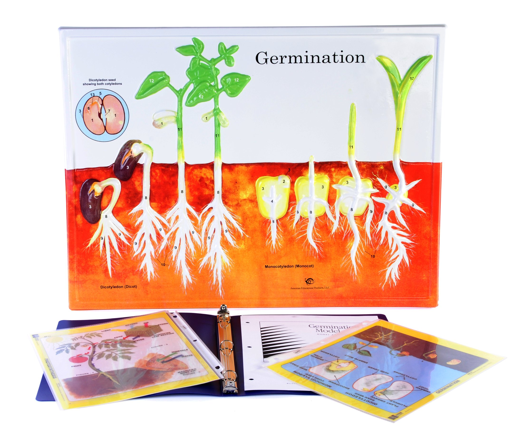 American Educational Germination Model Activity Set