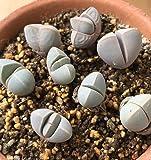 リトープス メセン 種10粒 多肉植物 (魔玉)