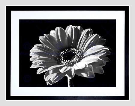 Black white gerbera flower bloom black frame framed art print picture b12x8033