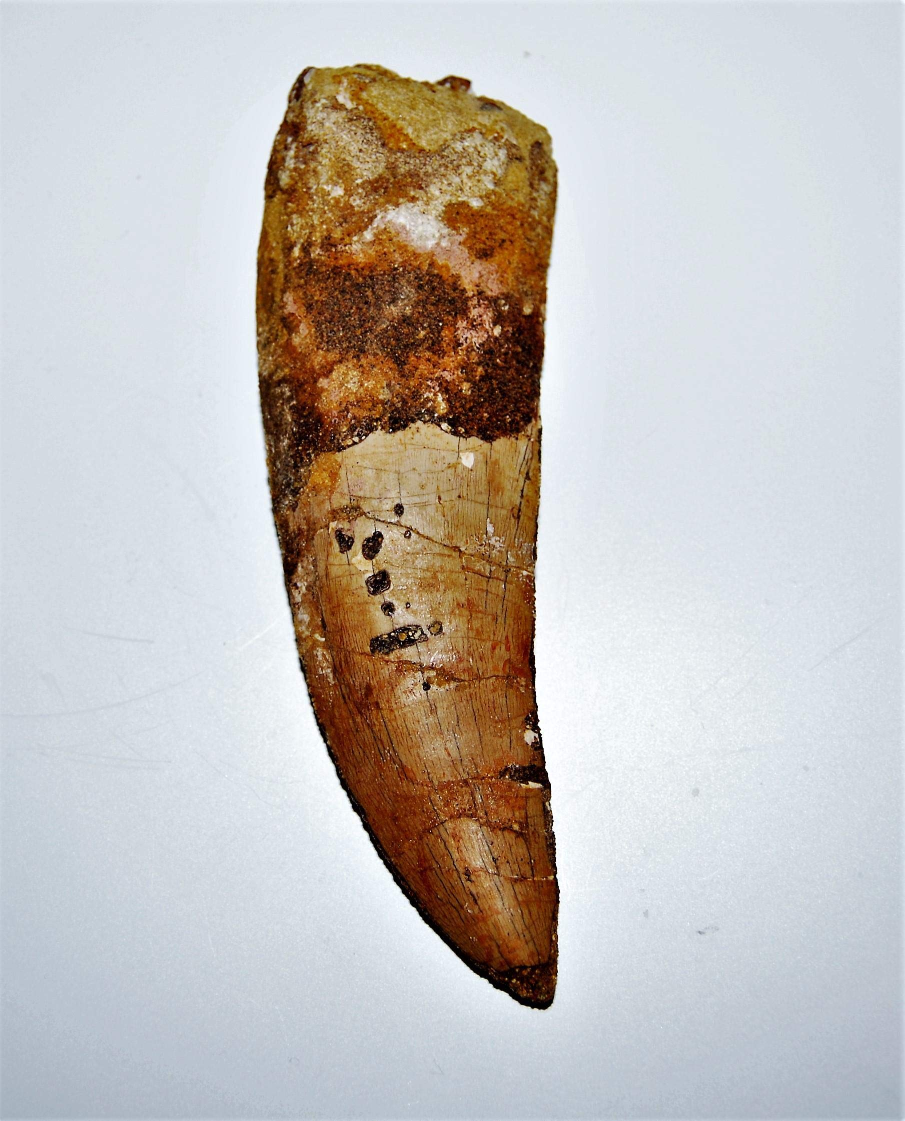 Carcharodontosaurus Dinosaur Tooth 5.012'' Fossil African T-Rex XLDB #14158 23o by Fossils, Meteorites, & More (Image #3)