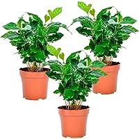 Kaffeepflanze - Pflanze 3 x Lieferhöhe 25-30 cm, Topfgröße Ø 12 cm